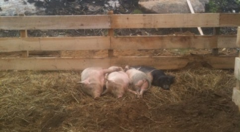 some-contented-hogs-on-LaMountain's-farm-in-Holland.""