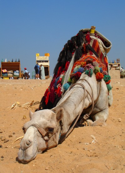 Camel-in-Egypt